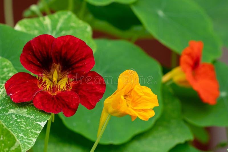 Macroschot van rode bloemen tegen de achtergrond van gras in zachte nadruk royalty-vrije stock afbeelding