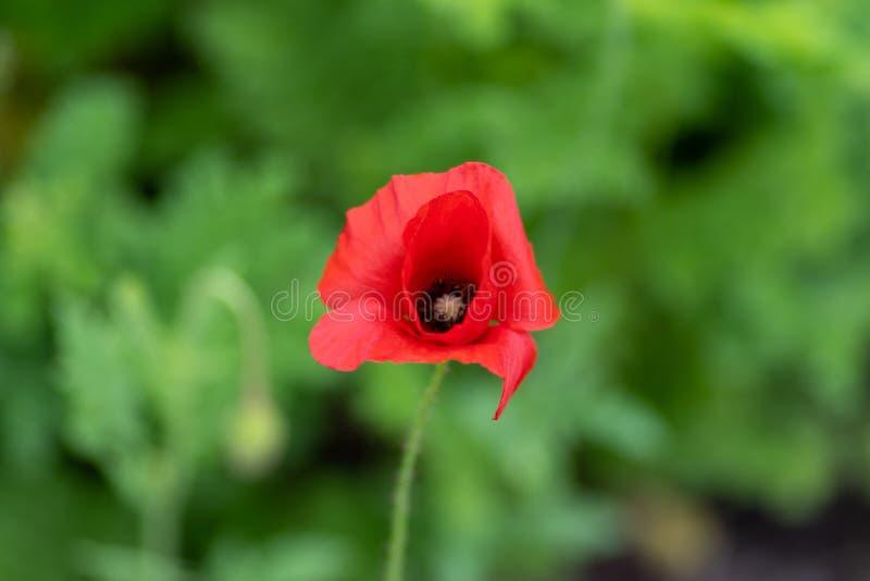 Macroschot van rode bloemen tegen de achtergrond van gras in zachte nadruk stock afbeeldingen