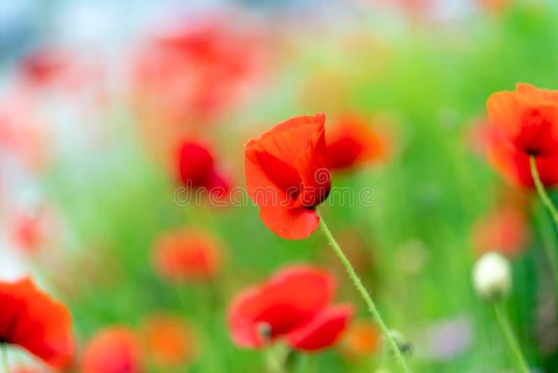 Macroschot van rode bloemen tegen de achtergrond van gras in zachte nadruk stock foto's
