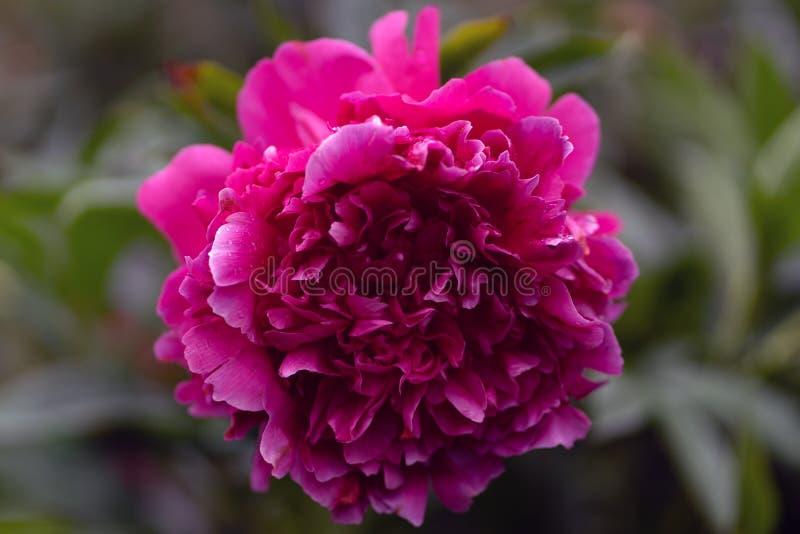 Macroschot van roze pioen in zachte nadruk royalty-vrije stock afbeeldingen