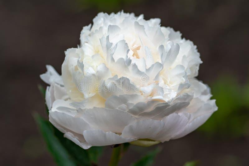 Macroschot van witte pioen in zachte nadruk stock fotografie