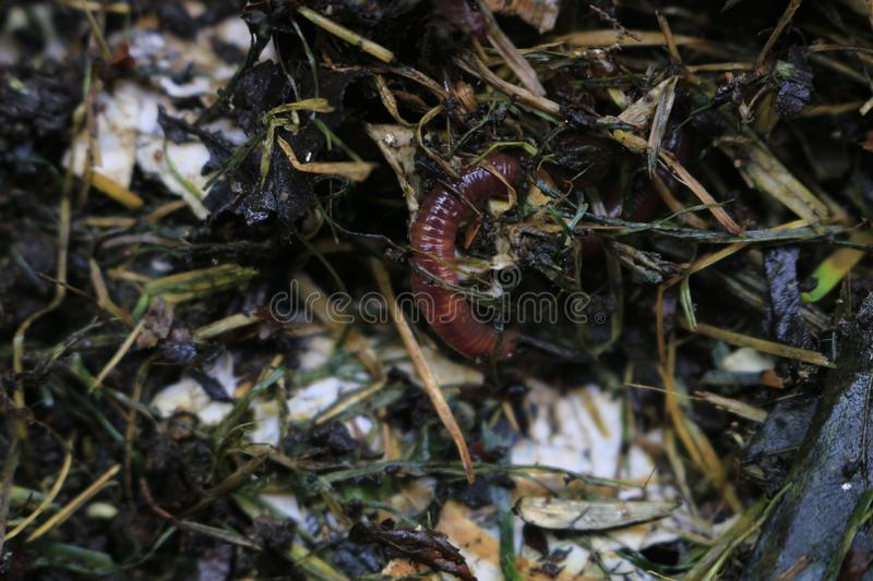 Macroshot of earthworms in soil Eisenia fetida royalty free stock images
