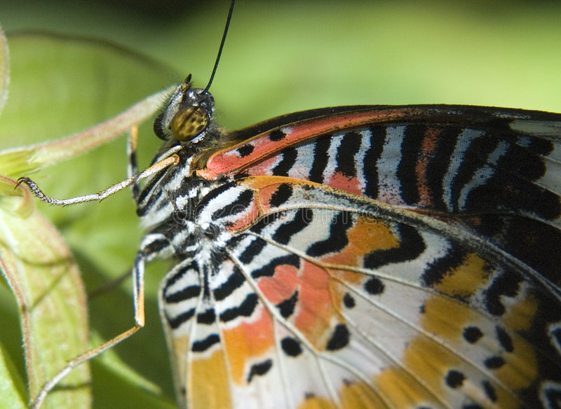 Macroshot of a Lacewing Butterfly. Lacewing Butterfly-Cethosia biblis, picture taken in south east Florida stock photos