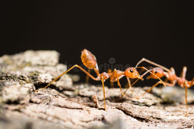 macroted蚂蚁 免版税库存照片