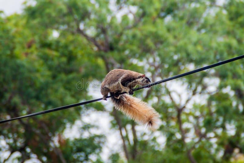 Macroura géant grisonnant de Ratufa d'écureuil dans Habarana, LAN de Sri image libre de droits