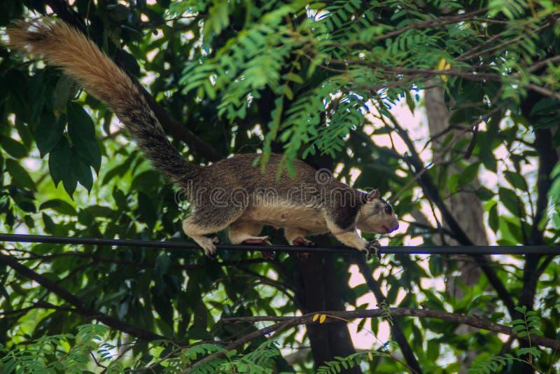 Macroura géant grisonnant de Ratufa d'écureuil dans Habarana, LAN de Sri images stock