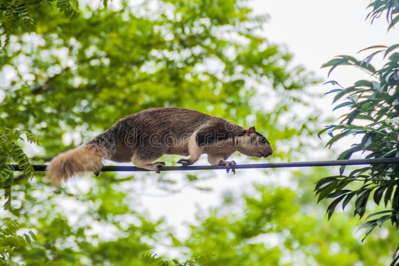 Macroura géant grisonnant de Ratufa d'écureuil dans Habarana, LAN de Sri photographie stock libre de droits