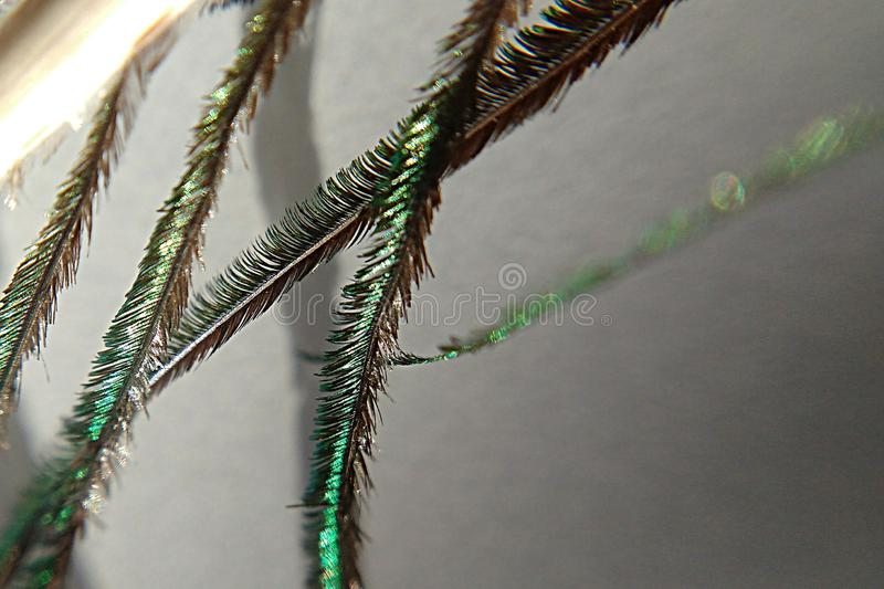 Macroview of peacock feather stock images
