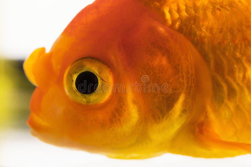 Macrovissenoog Kies volwassen die goudvis in aquarium uit op witte achtergrond wordt geïsoleerd Sluit omhoog mening Dierlijk huis royalty-vrije stock fotografie