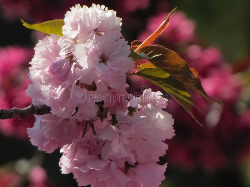 Macroweergeven van Cherry Blossoms royalty-vrije stock afbeelding
