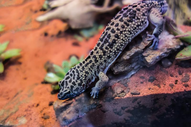 Macularius commun d'Eublepharis de gecko de léopard photos stock
