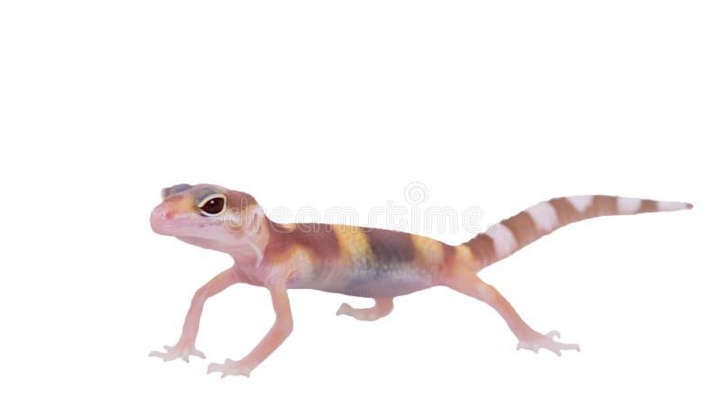 Macularius d'Eublepharis de gecko de léopard d'isolement photographie stock