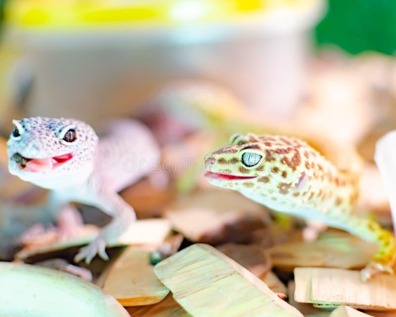 Macularius d'eublepharis de gecko de léopard Soin et de multiplication reptiles à la maison photographie stock