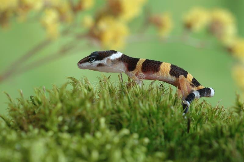 Macularius de Eublepharis del Gecko imagen de archivo libre de regalías