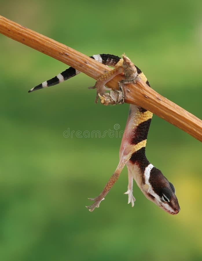 Macularius de Eublepharis del Gecko fotografía de archivo libre de regalías