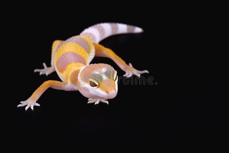Macularius de los eublepharis del gecko del leopardo fotos de archivo libres de regalías