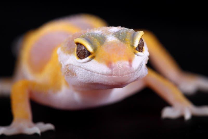 Macularius de los eublepharis del gecko del leopardo fotografía de archivo