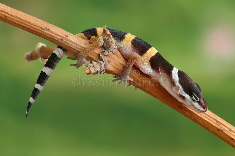 Macularius di Eublepharis del Gecko fotografie stock