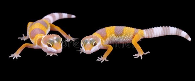 Macularius di eublepharis del gecko del leopardo fotografie stock