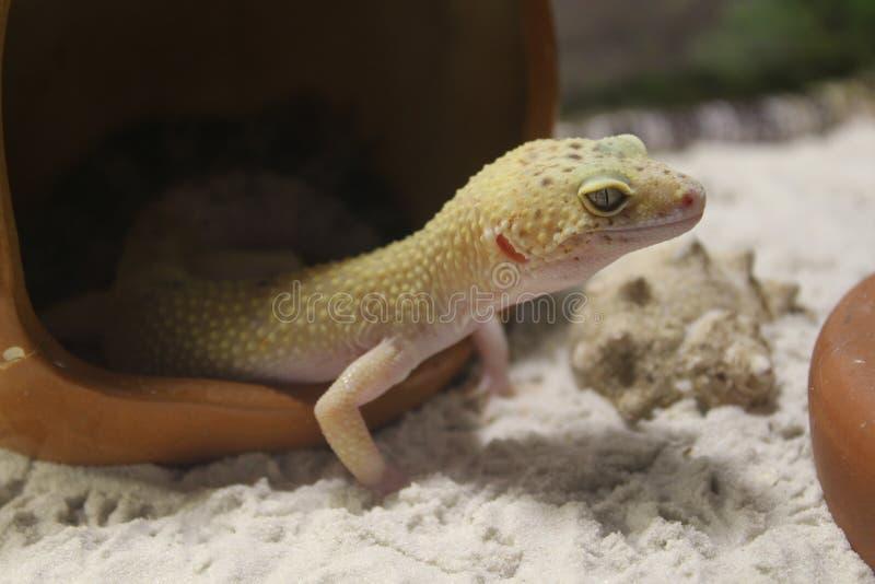 Macularius Eublepharis Gecko λεοπαρδάλεων στοκ εικόνα με δικαίωμα ελεύθερης χρήσης