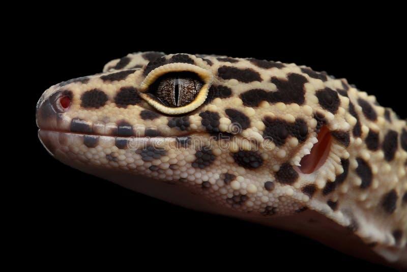 Macularius Gecko Eublepharis λεοπαρδάλεων κινηματογραφήσεων σε πρώτο πλάνο που απομονώνεται στο μαύρο υπόβαθρο στοκ φωτογραφία με δικαίωμα ελεύθερης χρήσης