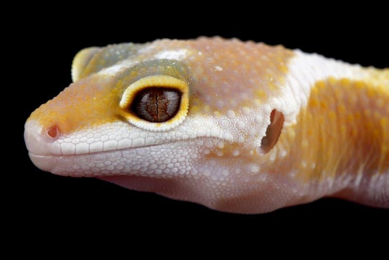 Download Macularius Van De Gekkoeublepharis Van De Luipaard Stock Foto - Afbeelding bestaande uit huisdier, hybride: 10776948
