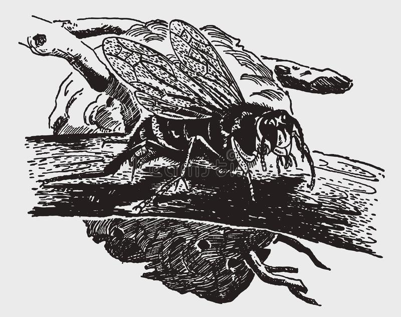 maculata Calvo-hecho frente del dolichovespula del avispón que se sienta en una rama delante de su jerarquía libre illustration