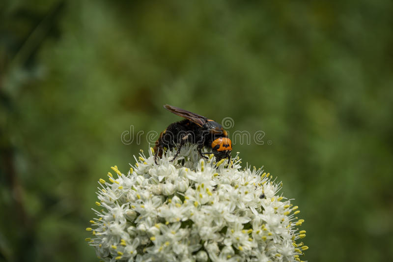 Maculata de Megascolia La guêpe gigantesque photo libre de droits