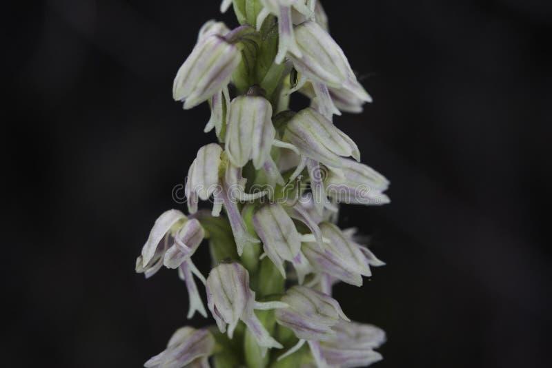 Maculata de Neotinea imagens de stock