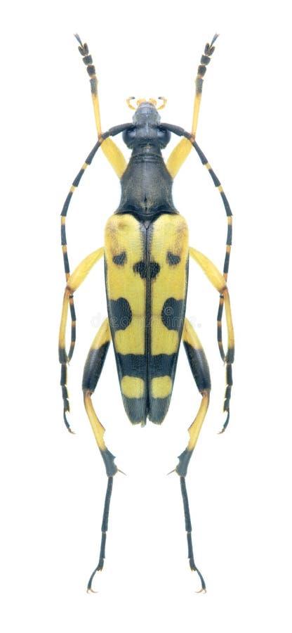 Maculata de Rutpela del escarabajo del Capricornio fotos de archivo libres de regalías