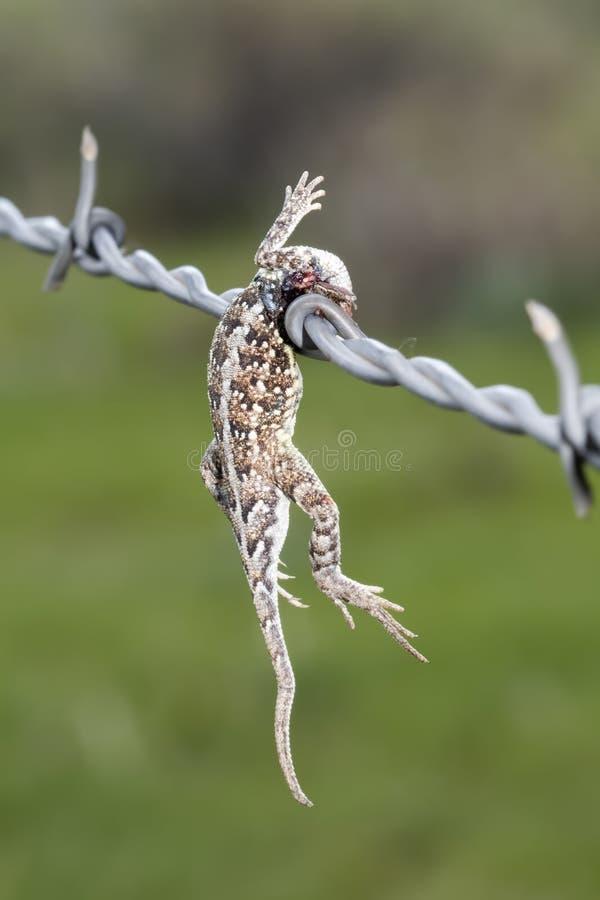 Maculata di Lesser Earless Lizard Holbrookia infilzato su filo spinato da un laniere immagini stock