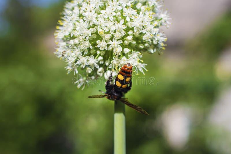 Maculata Megascolia Η μαμμούθ σφήκα Γιγαντιαία σφήκα Scola σε ένα λουλούδι κρεμμυδιών Scola lat Το maculata Megascolia είναι ένα  στοκ εικόνες με δικαίωμα ελεύθερης χρήσης