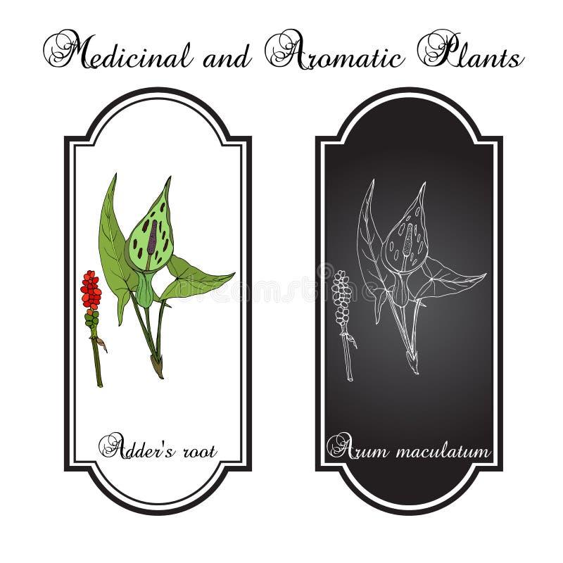 Maculatum Arum корня сумматора s, лекарственное растение иллюстрация штока