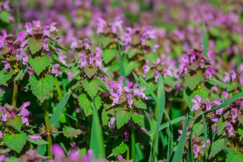 Maculatum do Lamium das flores igualmente conhecido como a inoperante-provoca??o manchada, o henbit manchado e o drag?o roxo imagem de stock