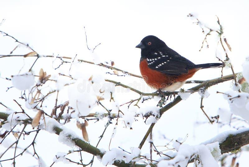 Maculatus macchiato del Pipilo del Towhee sul ramo di Snowy