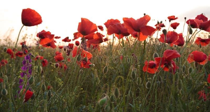 Download Maczek obraz stock. Obraz złożonej z maczki, kwiat, jungfrau - 28960769