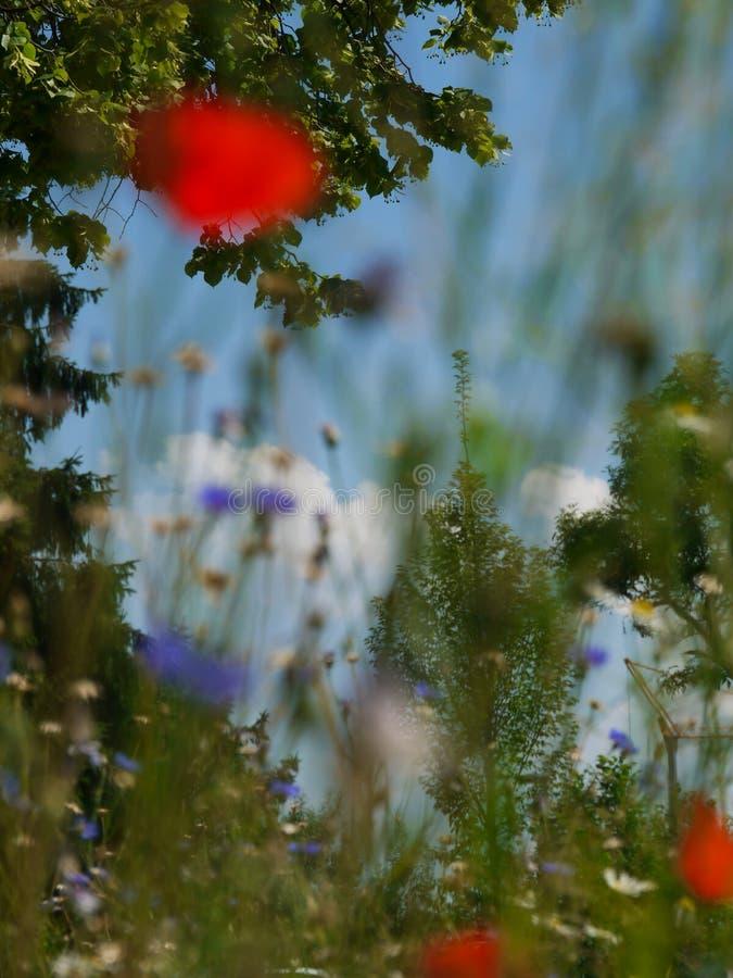 Maczek kwitnie niebieskie niebo obraz stock