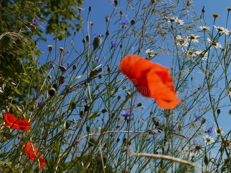 Maczek kwitnie niebieskie niebo zdjęcia stock