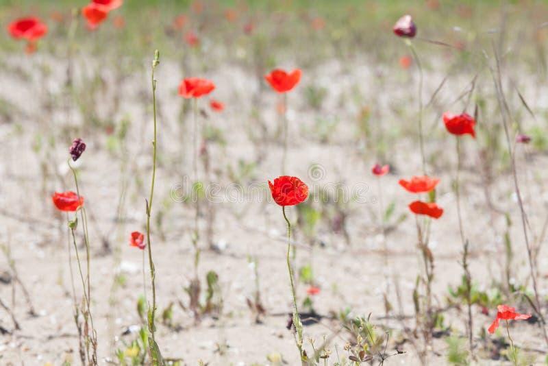 Maczek kwitnie w pustyni zdjęcie stock