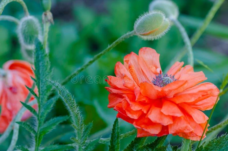 Maczek pączkuje i kwitnie w kwiat wiosny wibrującej colourful czerwieni i pomarańczowej naturalnej roślinie obrazy royalty free