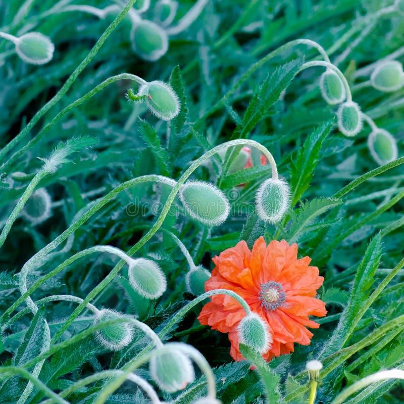 Maczek pączkuje i kwitnie w kwiat wiosny wibrującej colourful czerwieni i pomarańczowej naturalnej roślinie zdjęcia royalty free