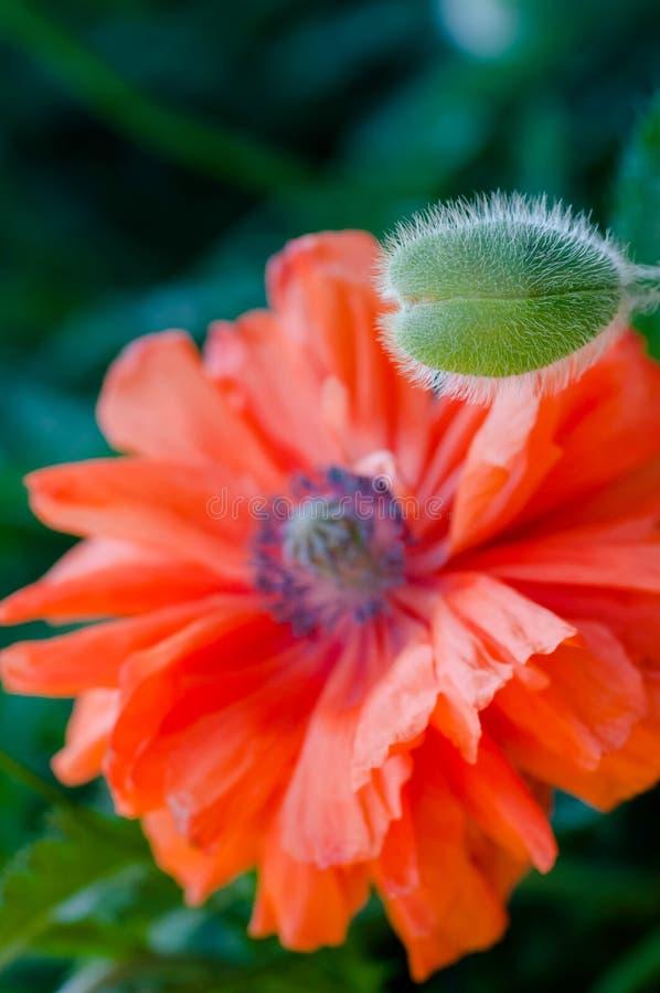 Maczek pączkuje i kwitnie w kwiat wiosny wibrującej colourful czerwieni i pomarańczowej naturalnej roślinie obraz stock