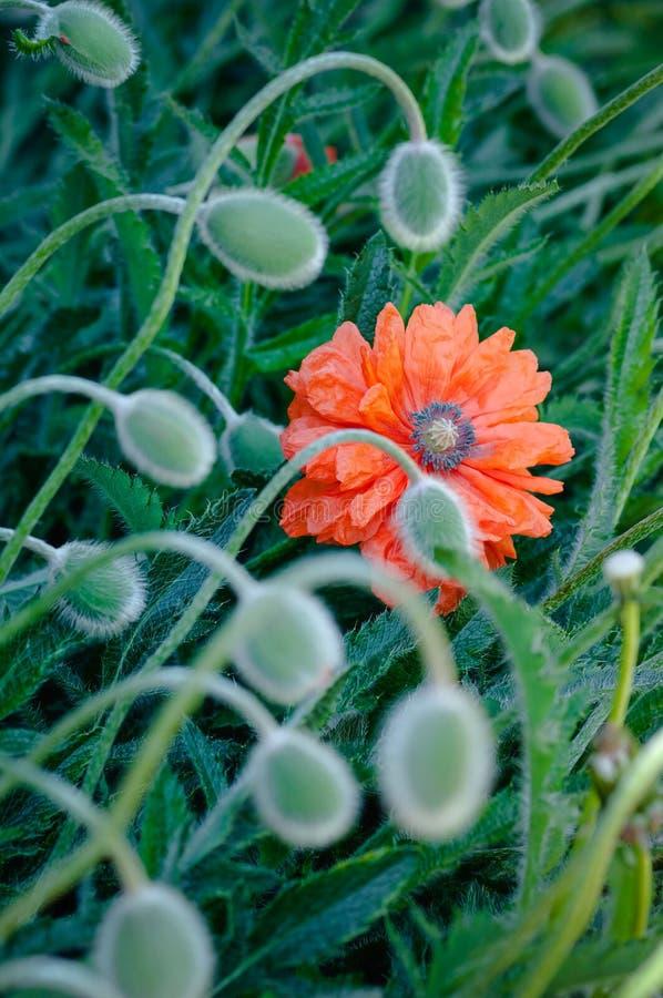 Maczek pączkuje i kwitnie w kwiat wiosny wibrującej colourful czerwieni i pomarańczowej naturalnej roślinie zdjęcie stock