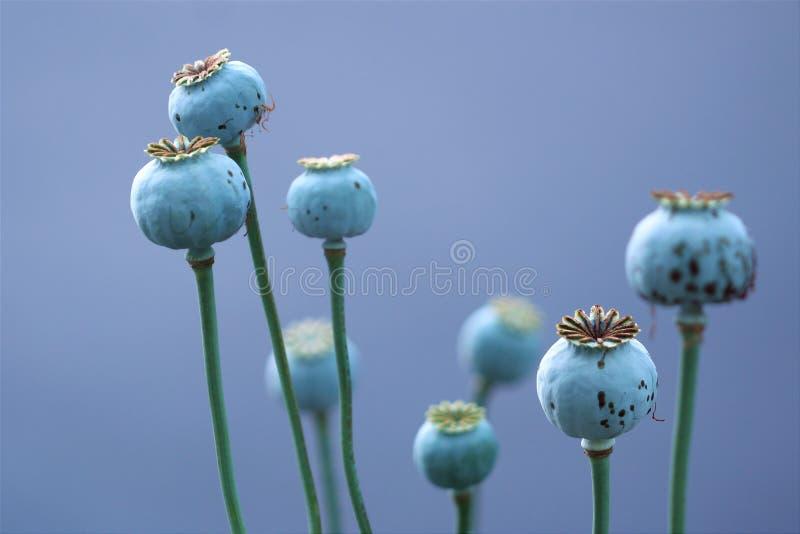 Maczków strąki w barwinku zdjęcia royalty free