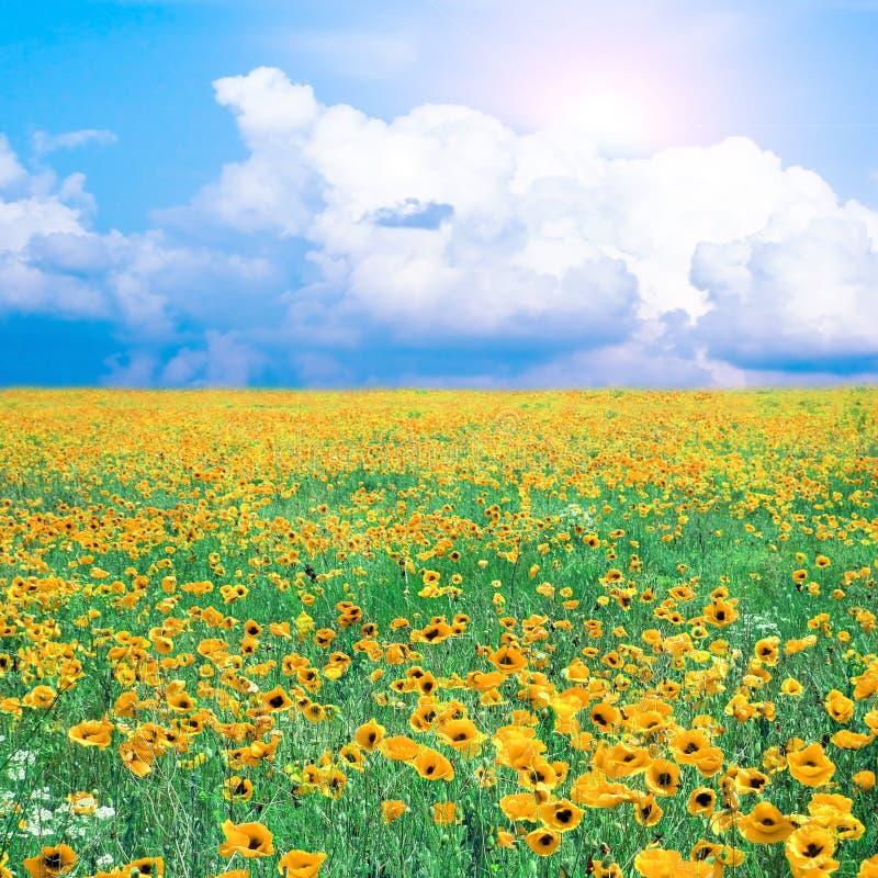 maczka łąkowy kolor żółty obraz royalty free