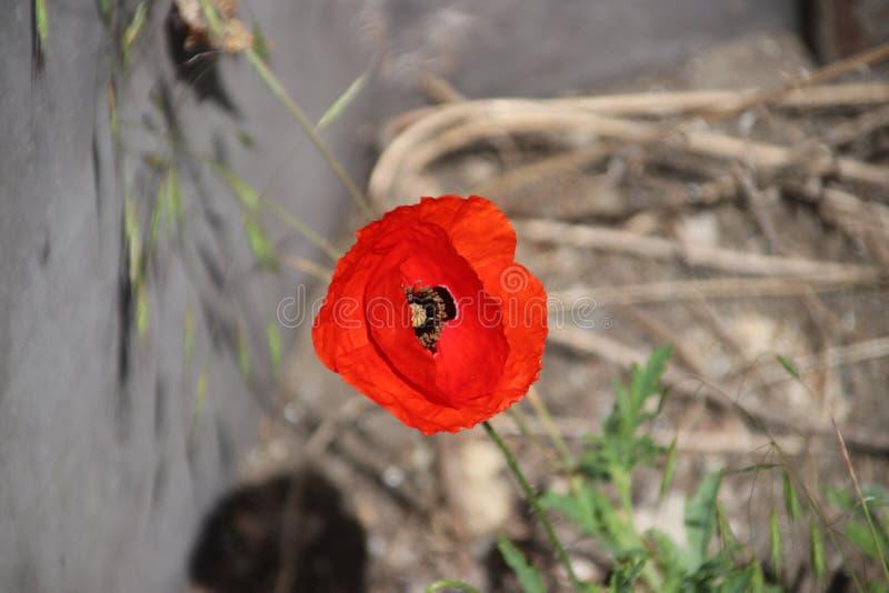 Maczki przy poboczem w holandiach między innymi dzikimi kwiatami obraz royalty free