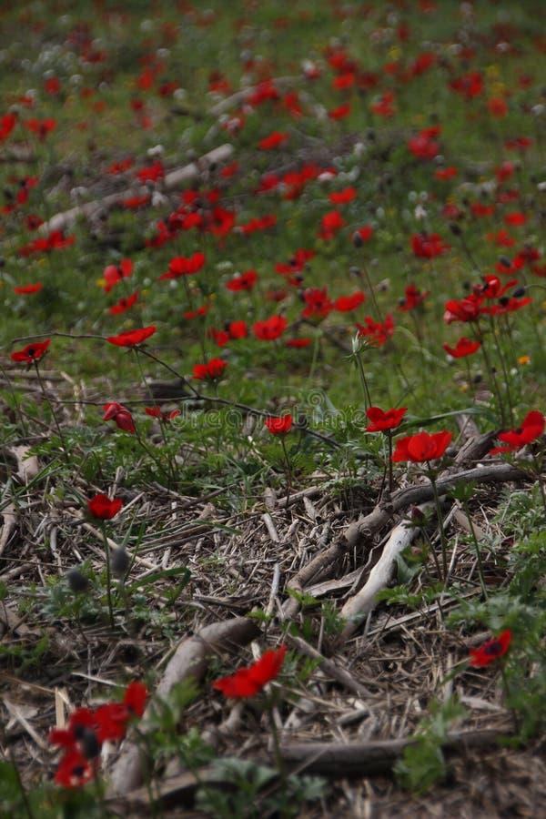 Maczki w Izraelickim lesie obraz royalty free