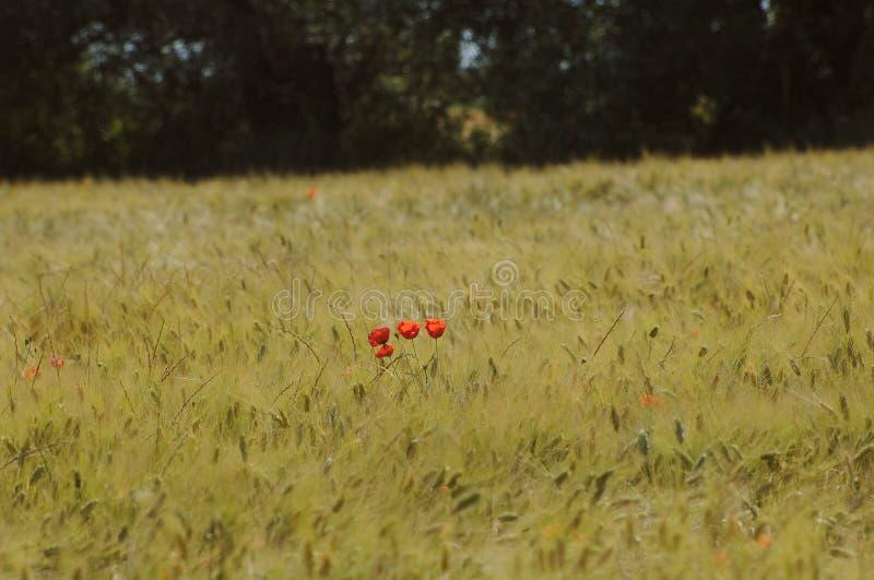 Maczki w pszenicznym polu zdjęcie royalty free