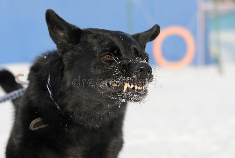 Mad dog. Icked black German Shepherd dog breed grinning royalty free stock image
