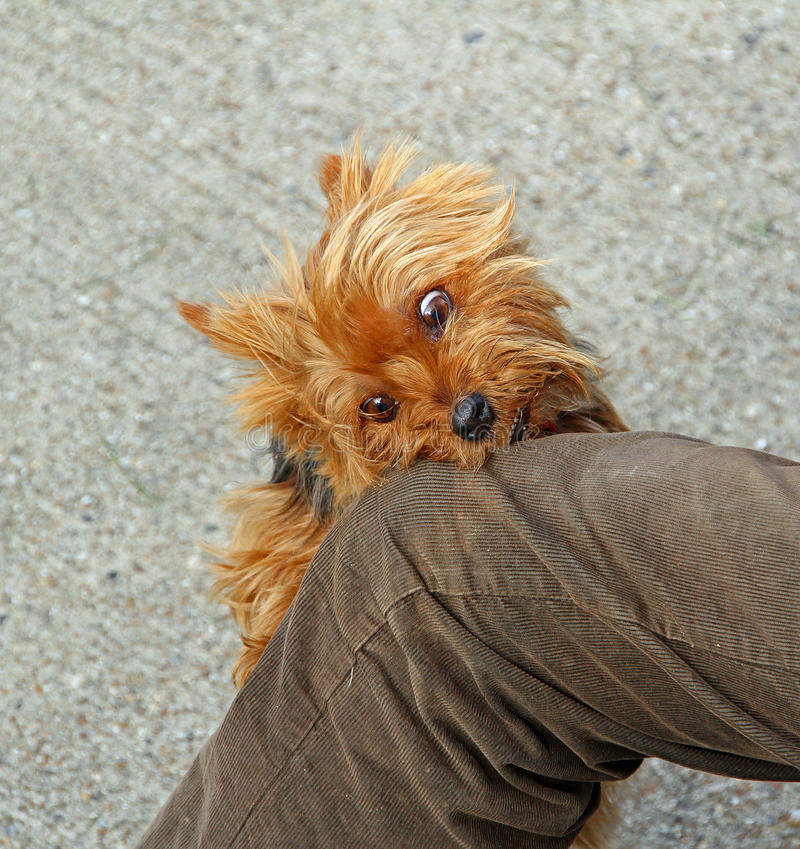 Mad rabid dog attack. Photo of a mad rabid yorkshire terrier dog attacking victims knee royalty free stock photo